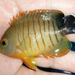 Bluefin Angelfish