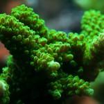 Acropora staghorn-Yeşil