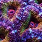 mercan (15)