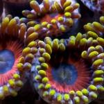 mercan (28)