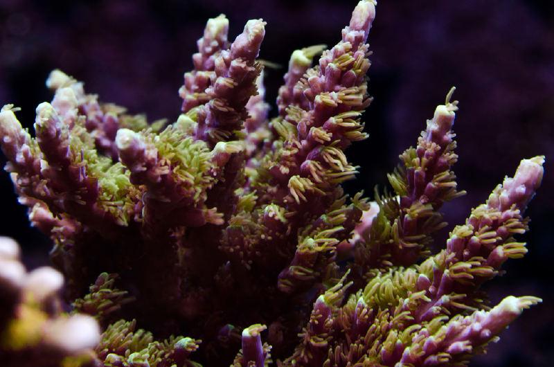 Acropora staghorn-Mor