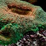 mercan (8)