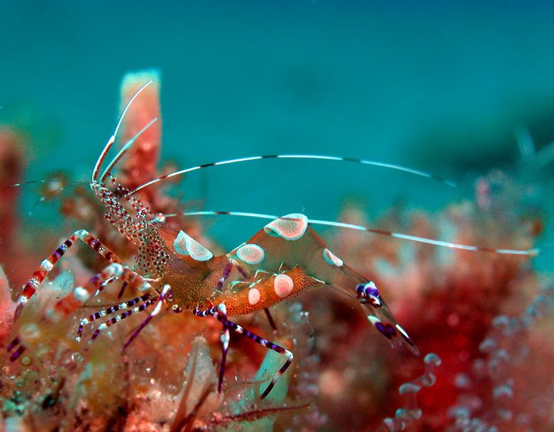 Glass Anemone Shrimp-Cam Anemon Karidesi