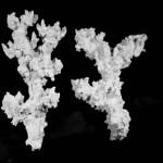 Korallenwelt- Kleiner Ast mit Taschen
